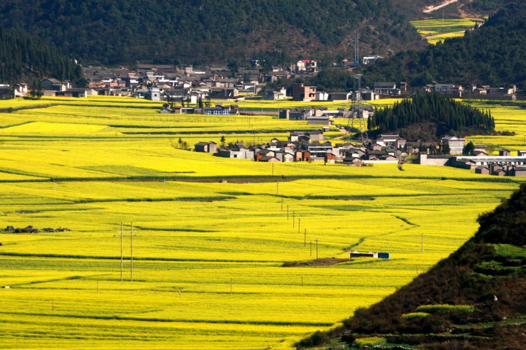 Рапс: Жёлтое раздолье (15 фото)