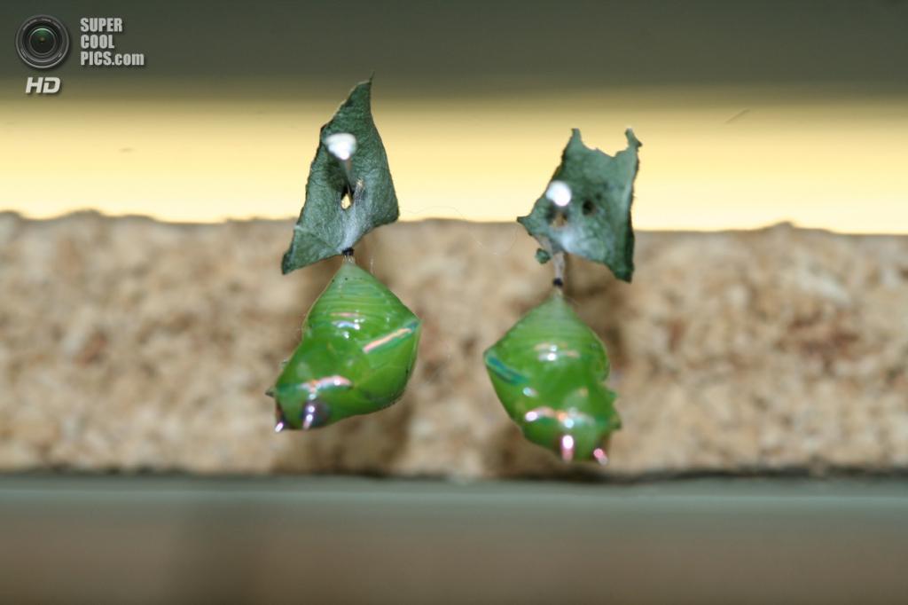 Куколки греты ото, или стеклянной бабочки. (priklady)