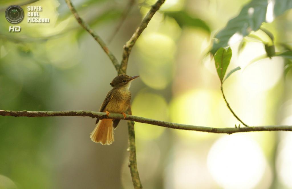 Венценосный мухоед. (Guilherme Battistuzzo)