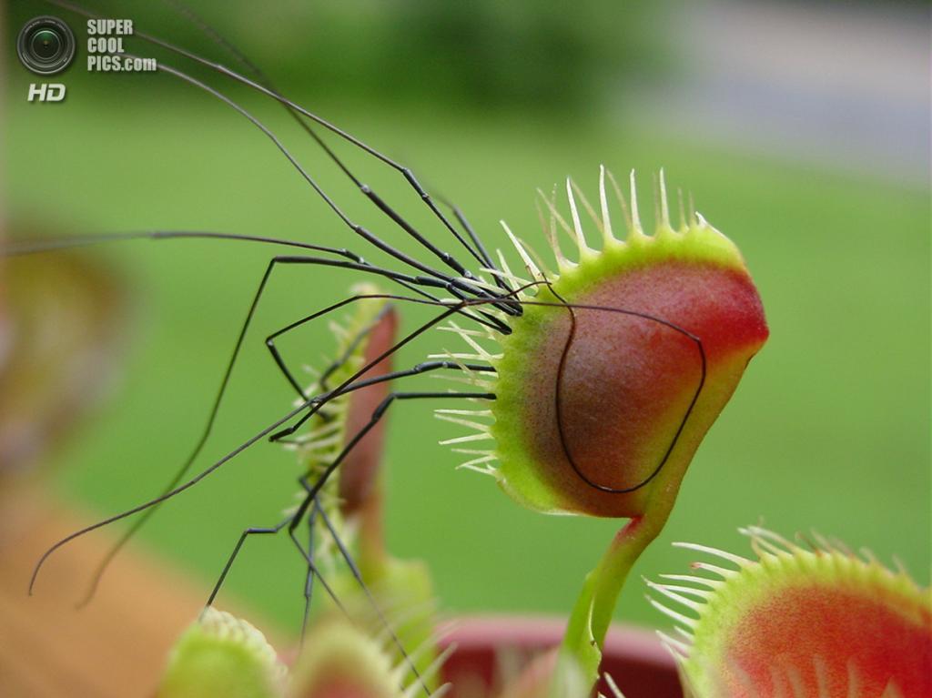 Венерина мухоловка из семейства росянковых. (Dominic Skubishkoo)
