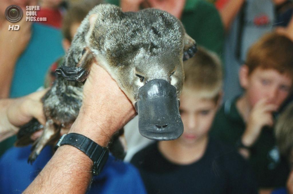 Зоолог демонстрирует утконоса у реки Барвон в штате Виктория, Австралия. (TwoWings)