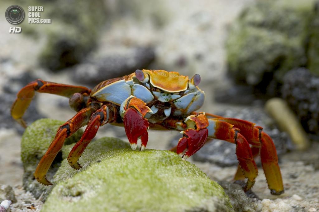 Grapsus grapsus, красный рифовый краб. (Ellen Stenard)
