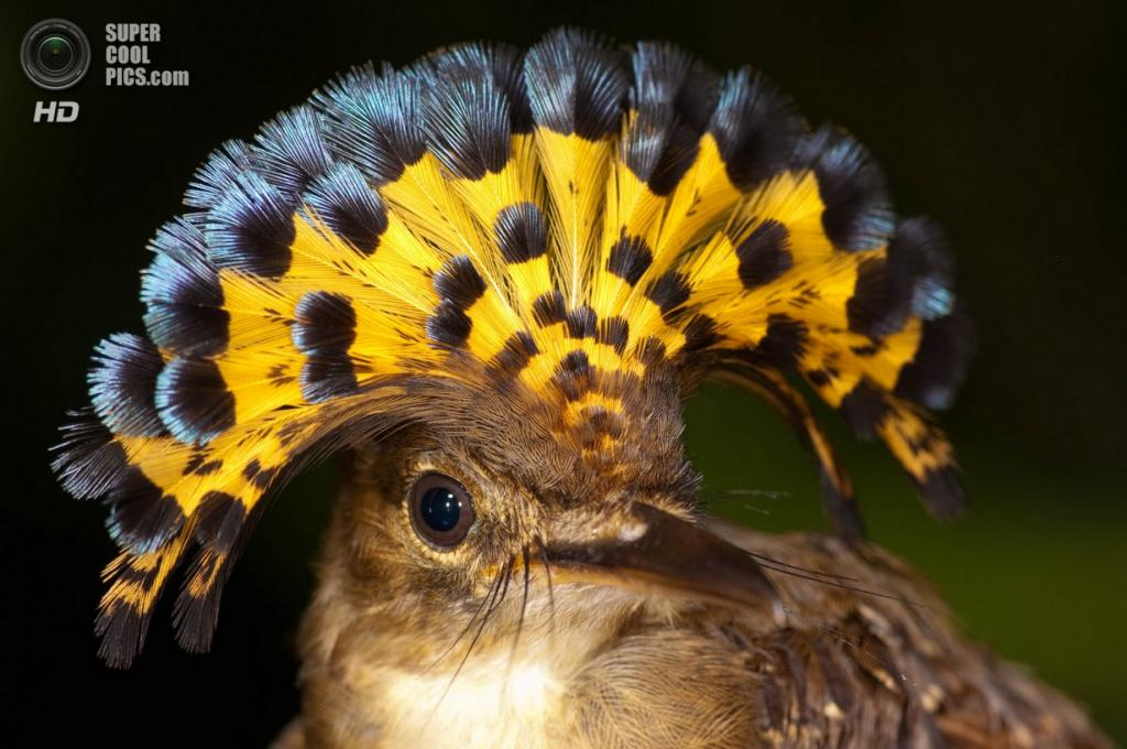 Венценосный мухоед. (Wikimedia)
