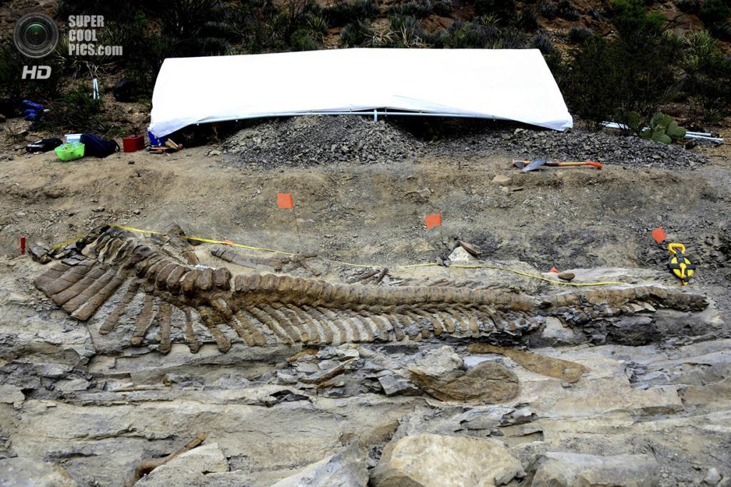 Мексика. Хенераль-Сепеда, Коауила. 22 июля. Хвост динозавра, найденный палеонтологами. (REUTERS/INAH/Handout)