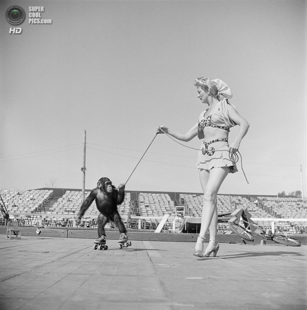 США. Нью-Йорк. 1948 год. Цирковая артистка с шимпанзе на роликовых коньках. (V&M/Look/Stanley Kubrick)