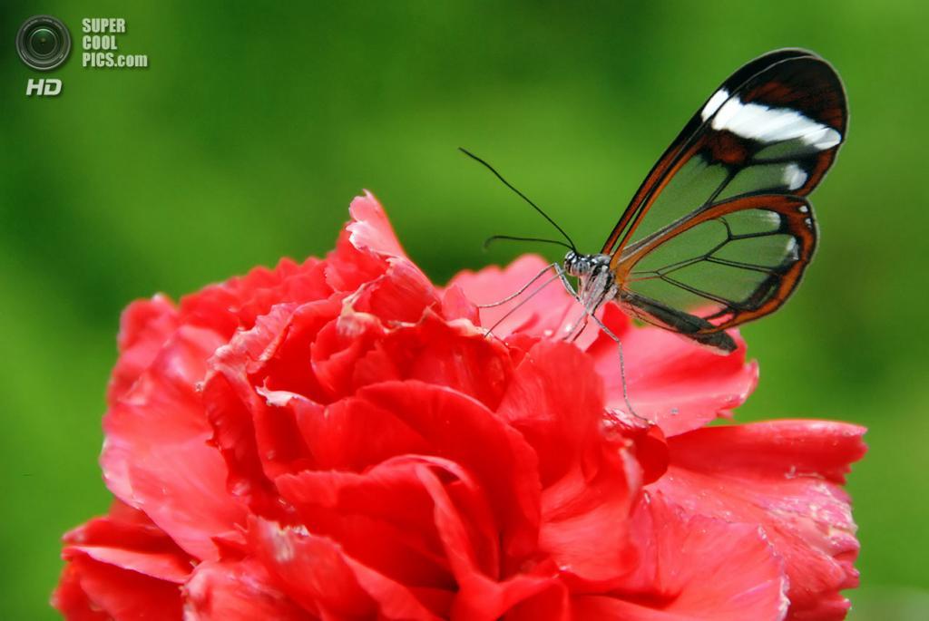 Грета ото, или стеклянная бабочка. (Tobias)