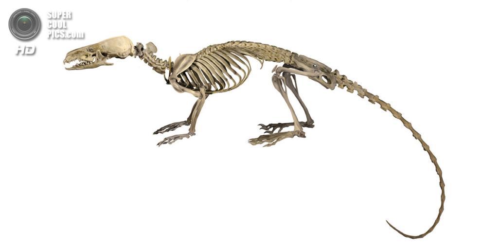 Иллюстрация строения скелета броненоски Тора. (Velizar Simeonovski)