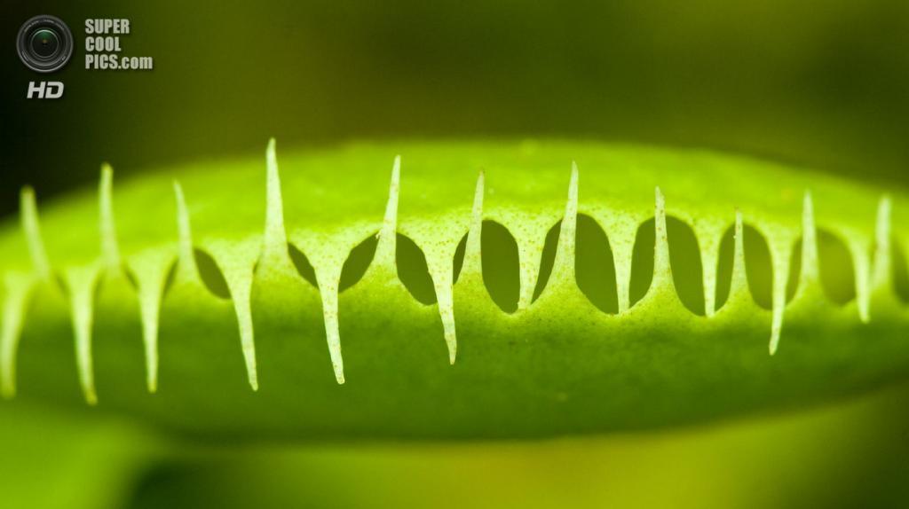 Венерина мухоловка из семейства росянковых. (Terence)