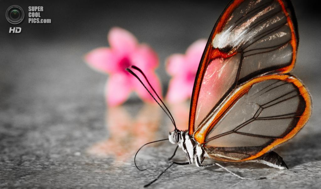 Грета ото, или стеклянная бабочка. (Greg Foster)