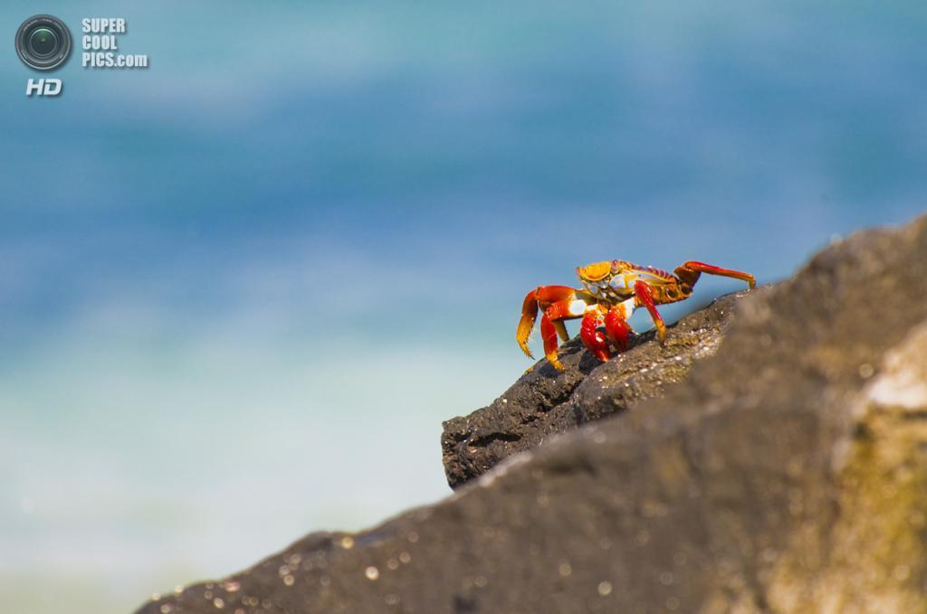 Grapsus grapsus, красный рифовый краб. (Paul Ark)
