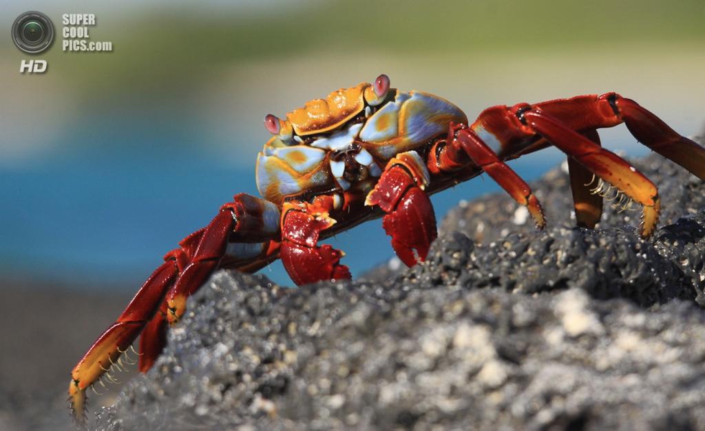 Grapsus grapsus, красный рифовый краб. (Mikel Hendriks)
