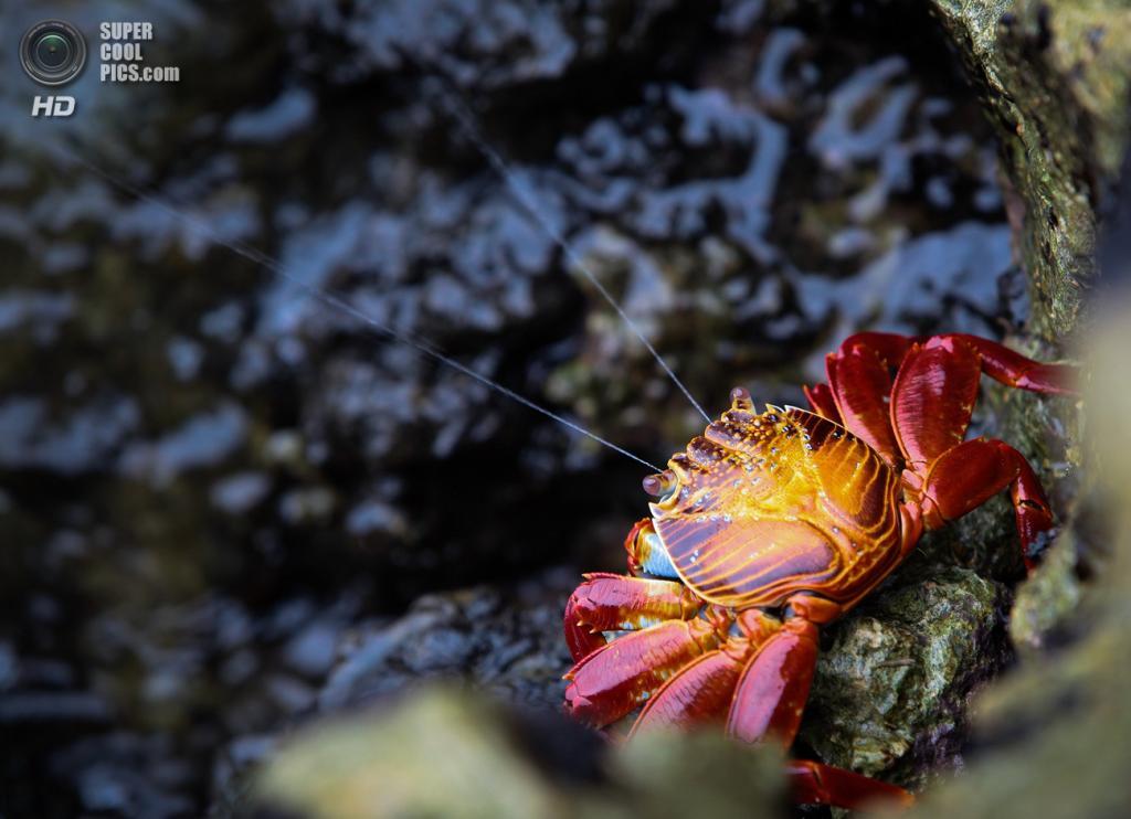 Grapsus grapsus, красный рифовый краб. То, что можно принять за «усы», на самом деле является морской водой, которую краб «выдувает» из своего панциря. (Ron de Boom)