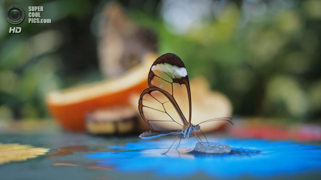 Грета ото, или стеклянная бабочка. (Farrukh)