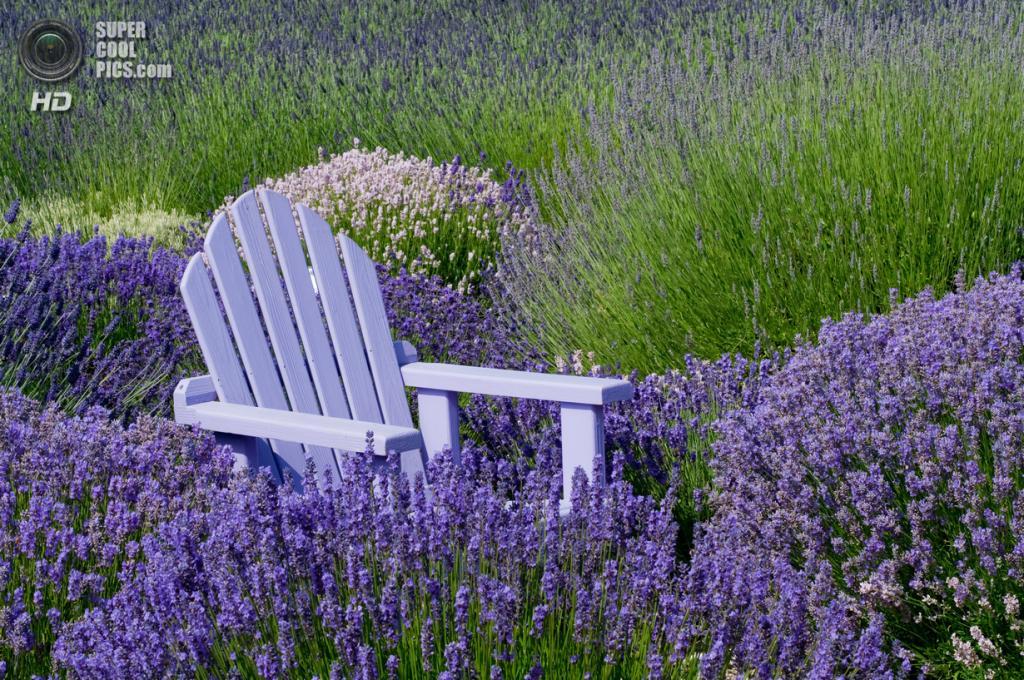 Лаванда. (Sequim Lavender Farms)