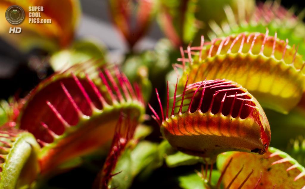 Венерина мухоловка - насекомоядное растение, чем питается, уход и размножение из семян в домашних условиях ( фото и видео)