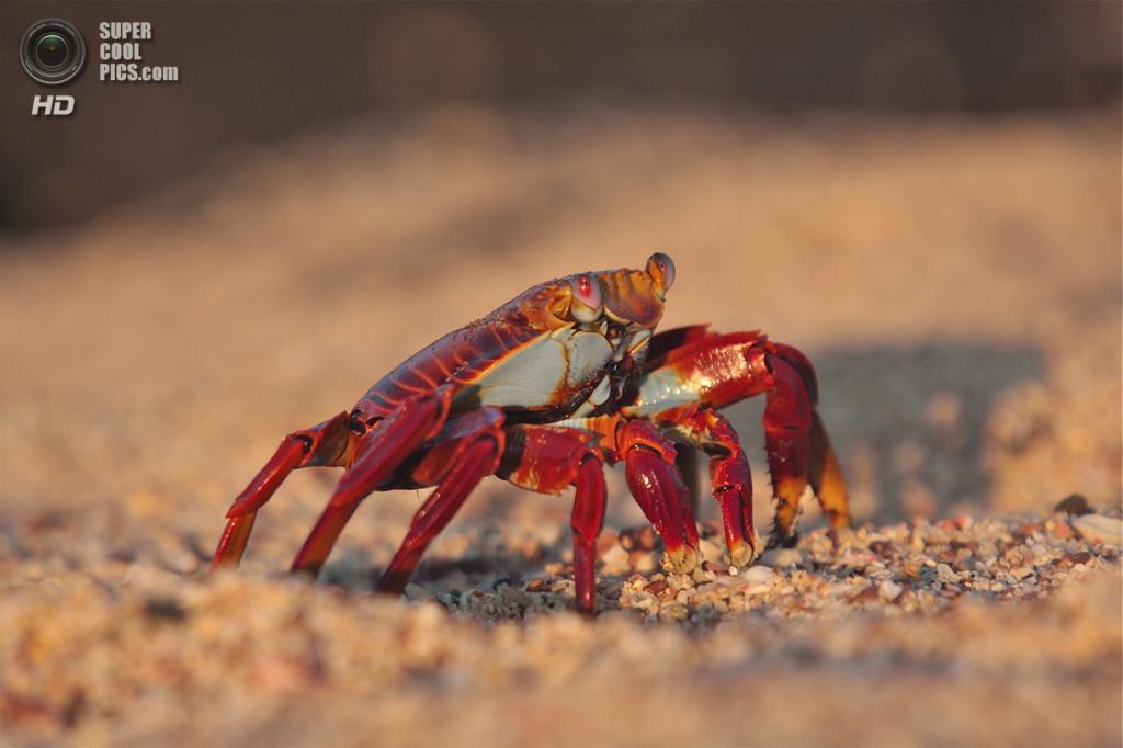 Grapsus grapsus, красный рифовый краб. (Kasper Willebrandts)