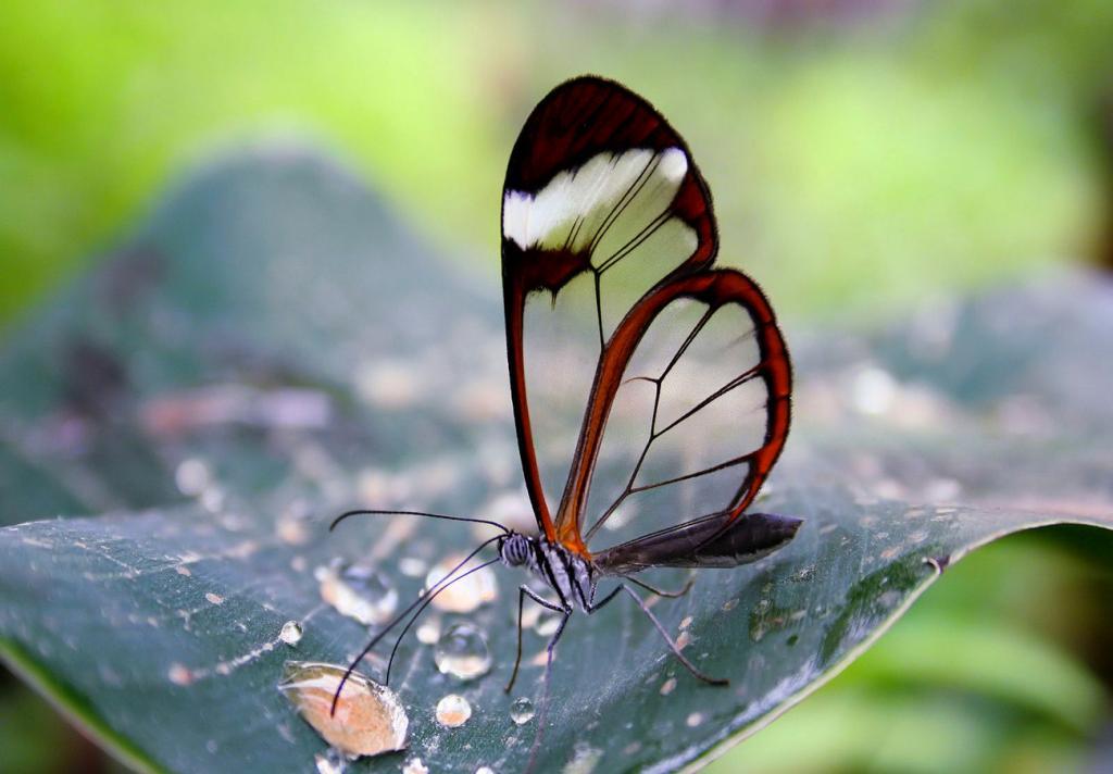 Стеклянные бабочки (8 фото)