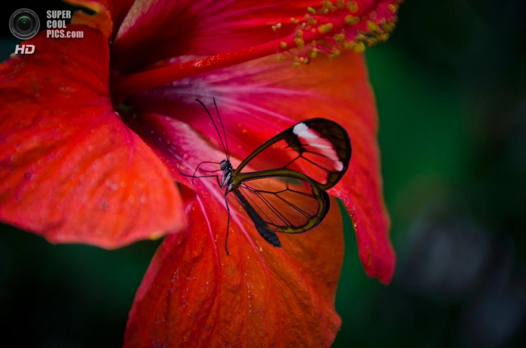 Грета ото, или стеклянная бабочка. (Michael.Camilleri)