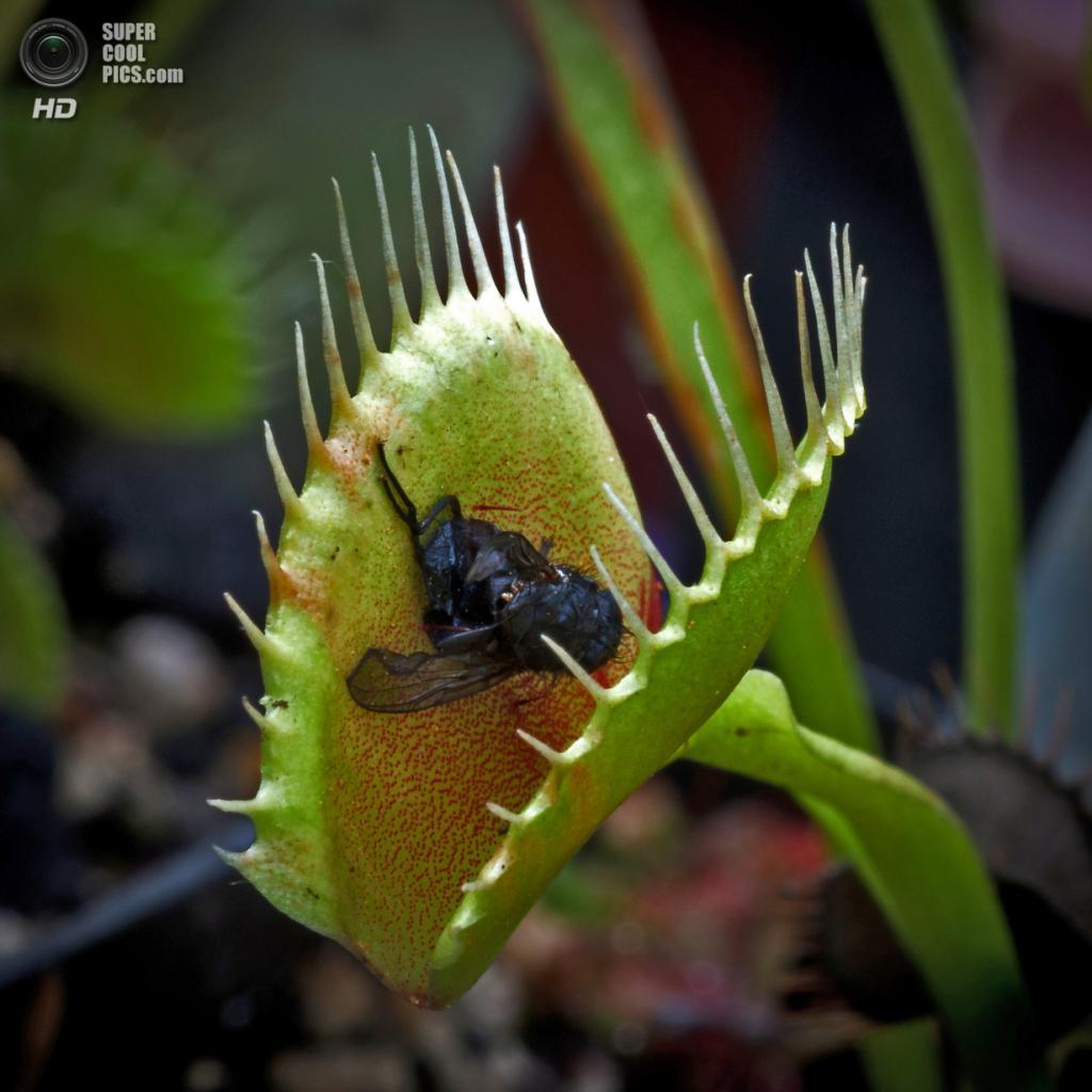 Венерина мухоловка из семейства росянковых. (Mark Robinson)