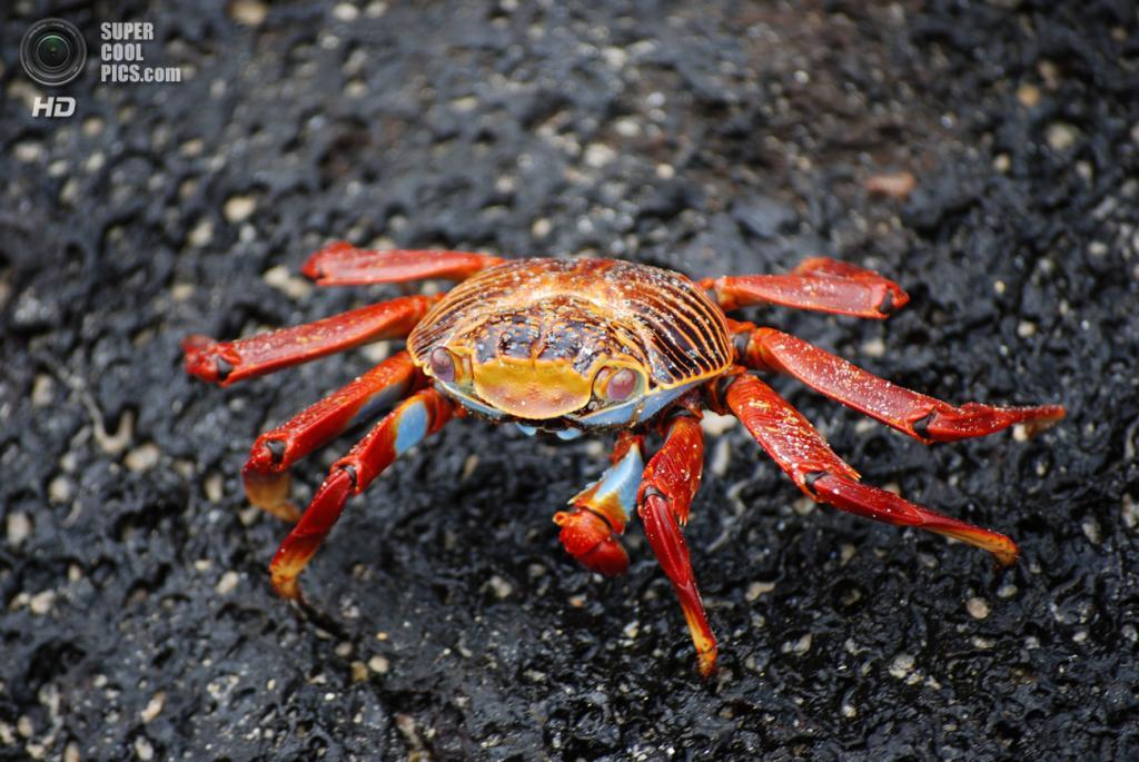 Grapsus grapsus, красный рифовый краб. (Harvey Barrison)