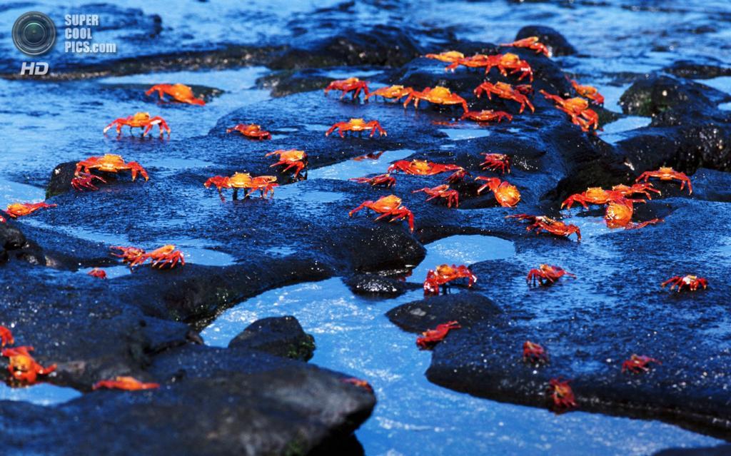 Grapsus grapsus, красный рифовый краб. (Szecska)