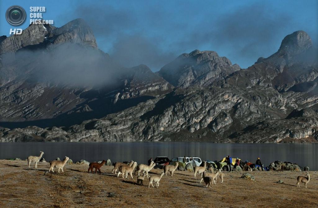Перу. Альпамарка, Паско. 19 августа 2012 года. Стадо альпак, повстречавшееся на пути исследователей. (Erich Schlegel/ZUMA Press)