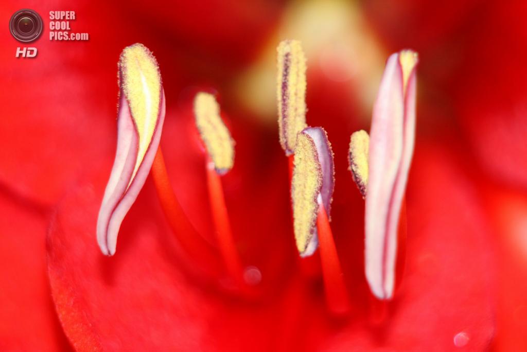 Цветение красного амариллиса. (Matthew Baran/Focus On Nature/The Palm Beach Post)