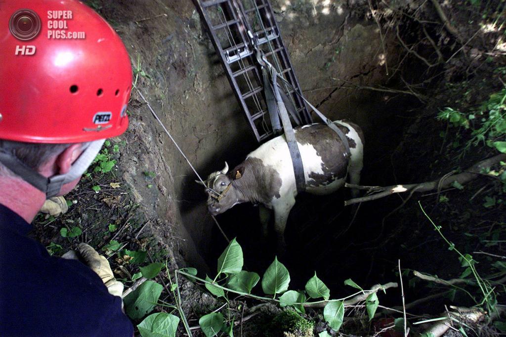 Франция. Сен-Сольв, Нор. 19 июля 2001 года. Пожарные вытаскивают испуганную корову, попавшую в пятиметровую карстовую воронку. (REUTERS)