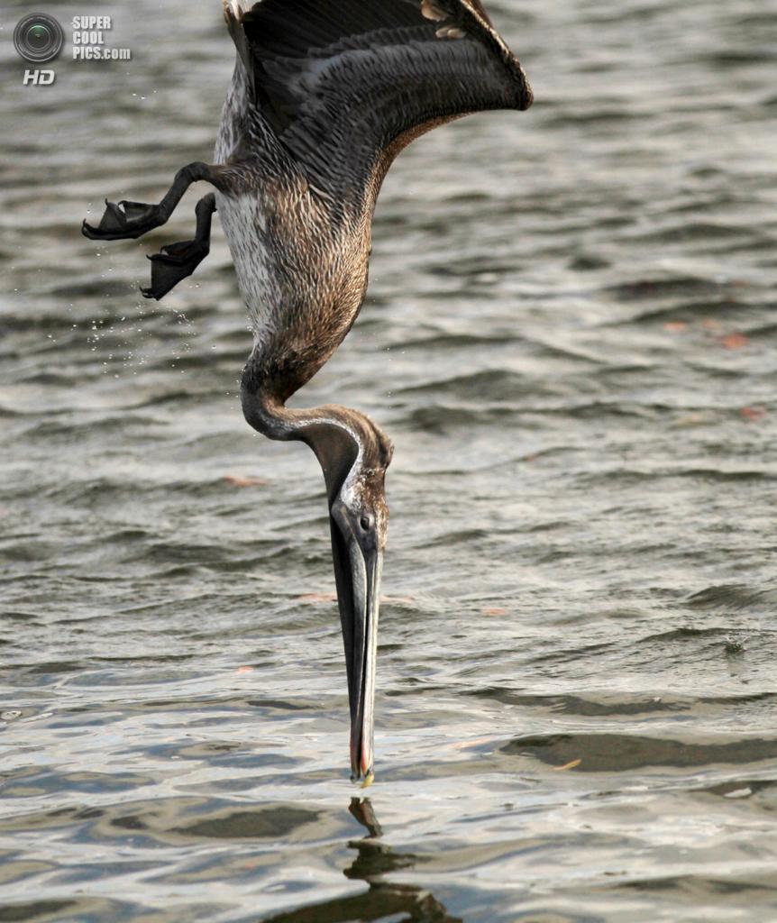 Идеально вертикальный нырок. (George Speer/Focus On Nature/The Palm Beach Post)