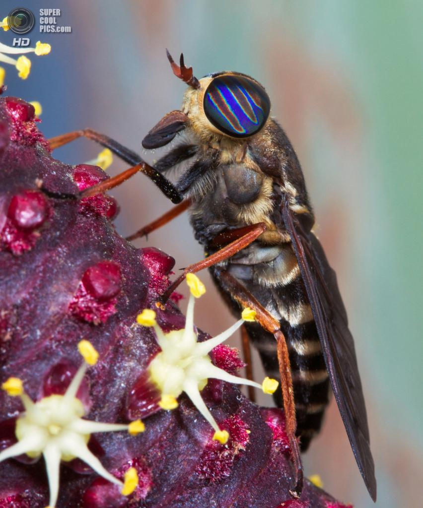 Слепень с радужными глазами. (Elaine Kruer/Focus On Nature/The Palm Beach Post)