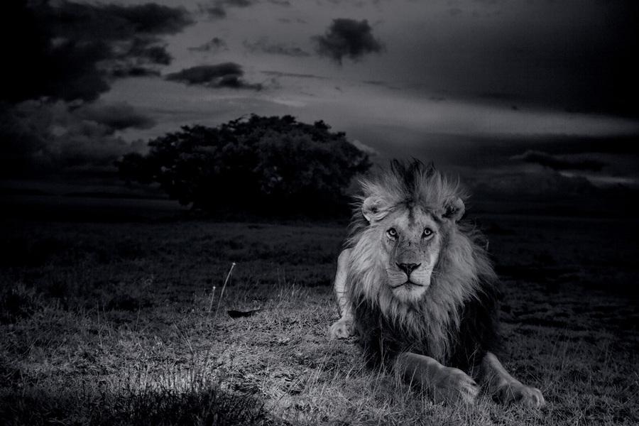 Танзания. Серенгети. Лев Си-Бой с тёмной гривой ежедневно отстаивает своё превосходство над другими самцами. Недавно он едва выжил в стычке с тремя другими львами. (Michael Nichols/National Geographic)