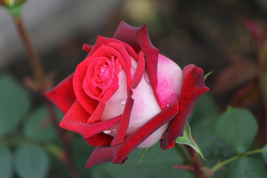 Роза Осирия. (Willi)