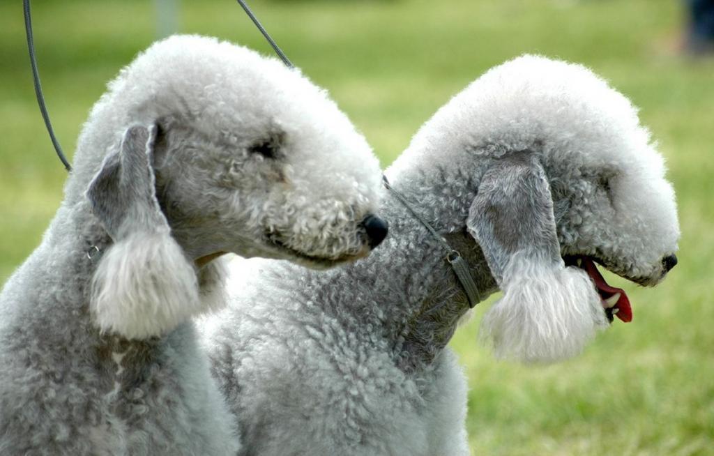 Бедлингтон-терьер: Собака-овца (11 фото)