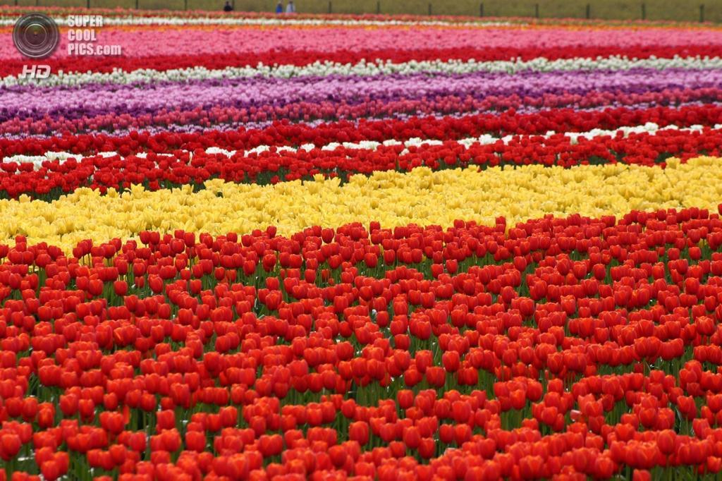 Тюльпаны. (Blake Handley)