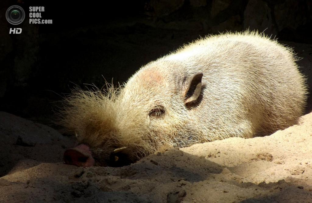 Бородатая свинья. (Harald Haefker)