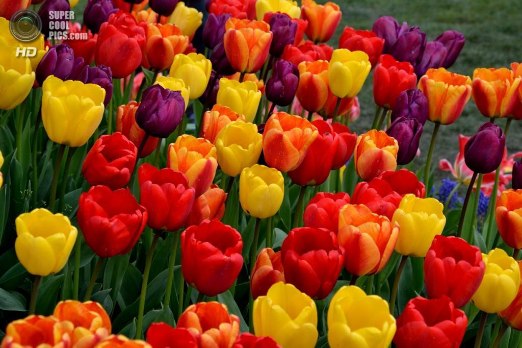 Тюльпаны. (Jason Short)