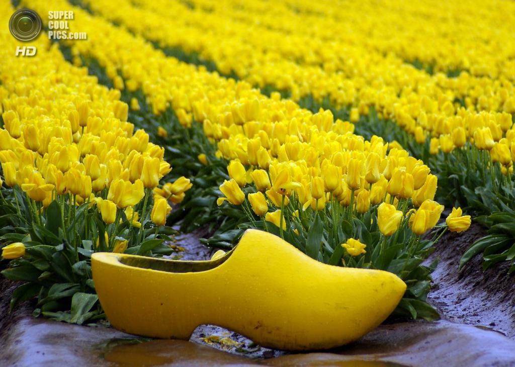 Тюльпаны. (Guanatos Gwyn)