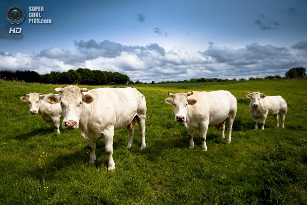 Бельгийские голубые коровы. (Stijn Annendijck)