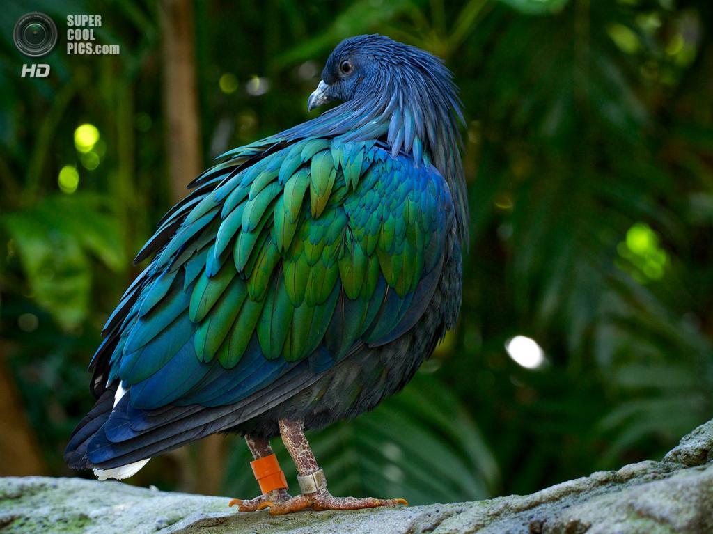 Гривистый голубь. (Sebastian)