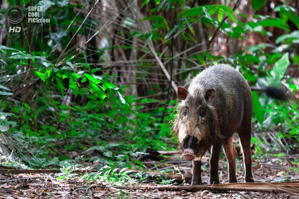 Бородатая свинья. (stephanie borcard & nicolas metraux)
