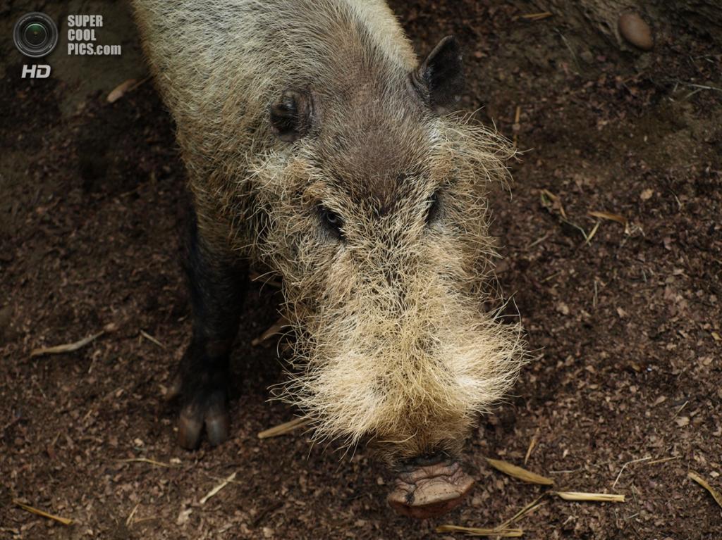 Бородатая свинья. (Ben Lunsford)