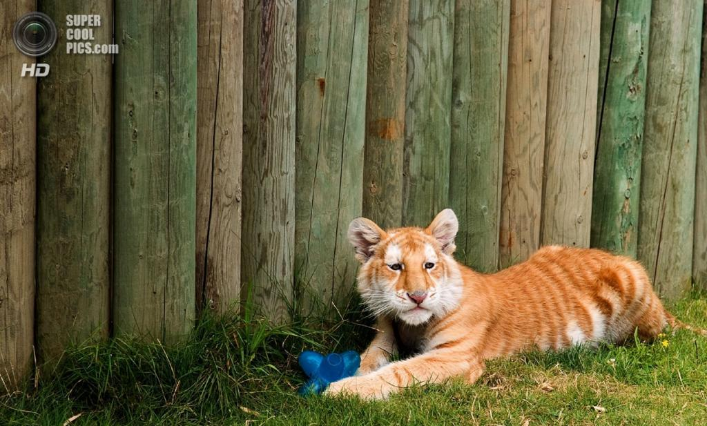 Золотой тигр. (Andy Simonds)