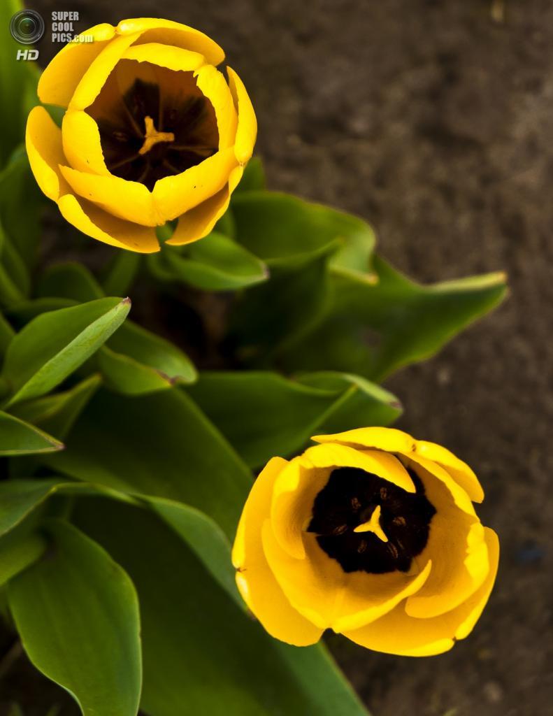 Тюльпаны. (Peter Nijenhuis)