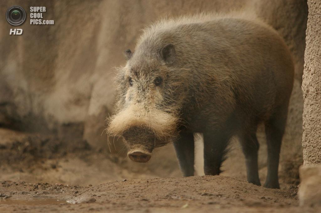 Бородатая свинья. (Dragon Weaver)