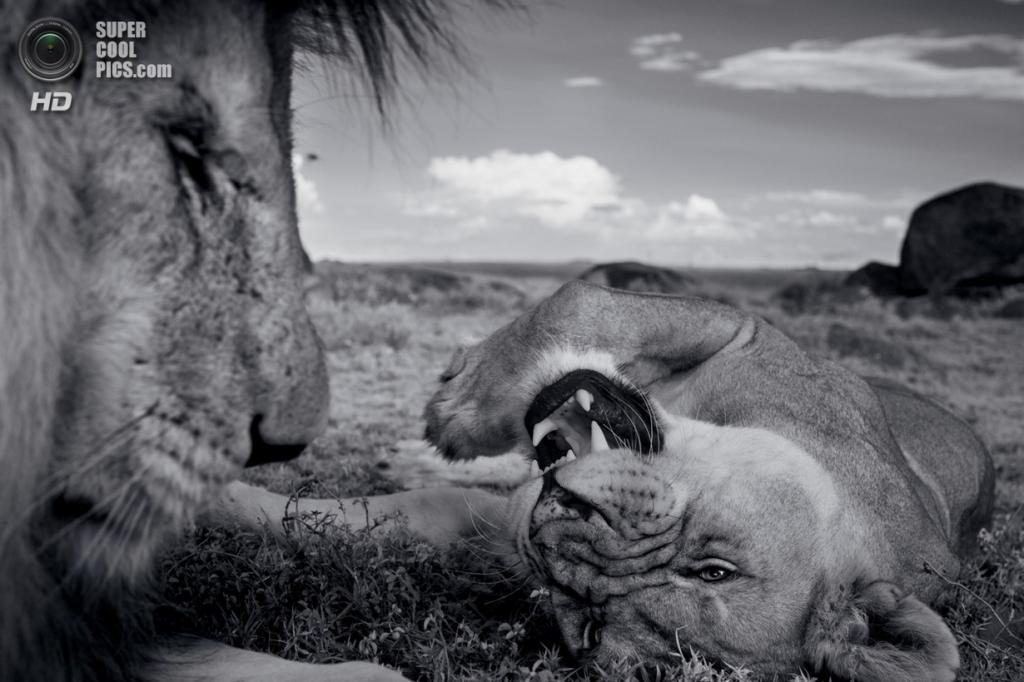Танзания. Серенгети. Лев Си-Бой и львица из прайда Вумби на свидании. Во время течки самка может быть монополизирована на несколько дней одним самцом-супругом. (Michael Nichols/National Geographic)