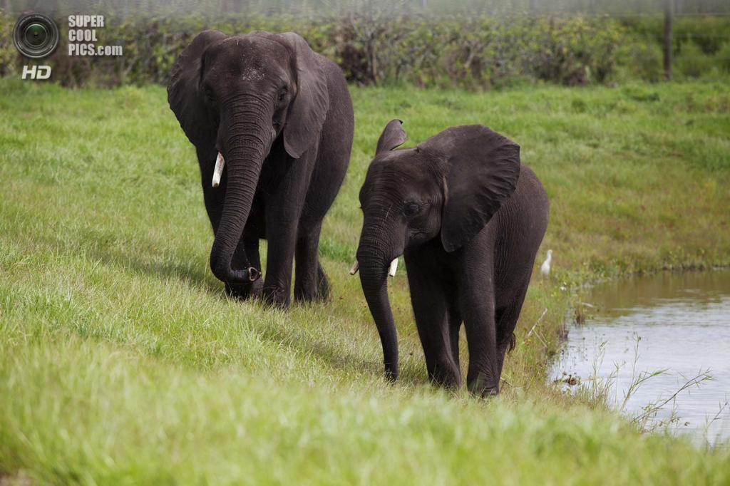 США. Феллсмер, Флорида. 2 августа. 32-летняя Мойо и её 5-летний сын Цаво возвращаются с водопоя. (Laura McDermott/The Palm Beach Post)