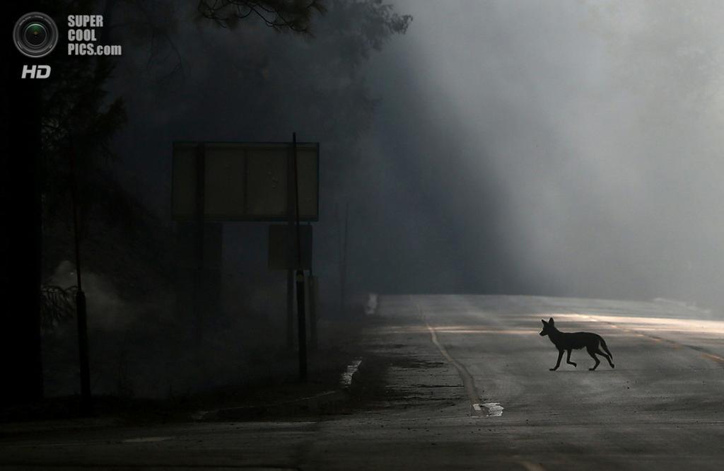 США. Гровленд, Калифорния. 23 августа. Койот пересекает шоссе 120, убегая от лесного пожара «Rim Fire». (Justin Sullivan/Getty Images)