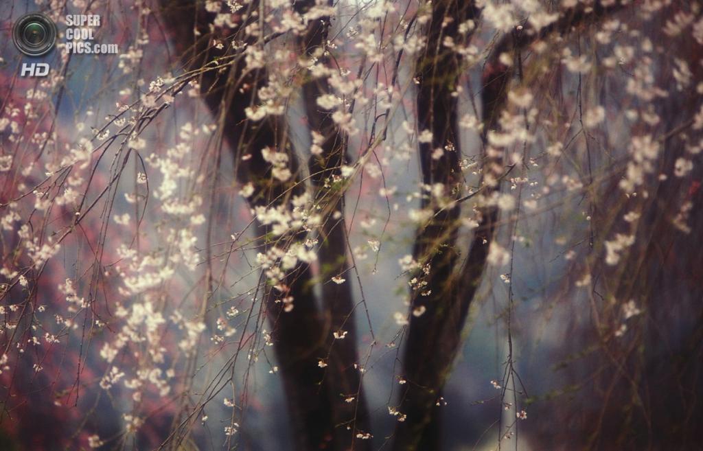 Достойный победы: Сакура. «Цветение вишни, называемой в Японии сакурой, — национальный японский символ. Существует множество видов цветов на вишнёвых деревьях и особенно много — на старых. Их называют эдо-хиган». (Hideyuki Katagiri/National Geographic Traveler Photo Contest)