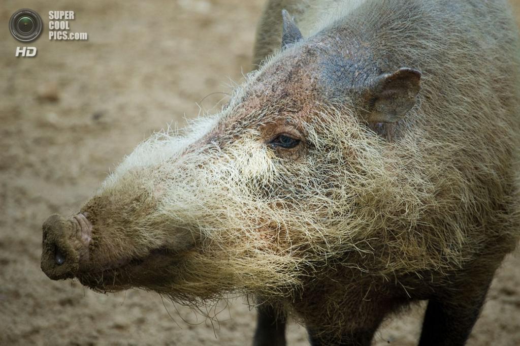 Бородатая свинья. (Sebastian Niedlich)
