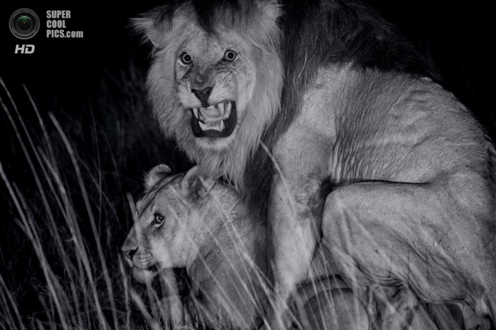 Танзания. Серенгети. Лев Си-Бой и львица из прайда Кибумбу. После появления на свет детёнышей, главный лев может быть замещён другими львами. Тогда его выводок будет убит или оставлен на произвол судьбы. (Michael Nichols/National Geographic)